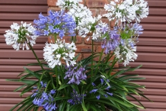 Agapanthus contrasting colours