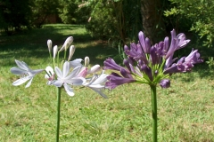 Agapanthus comptonii palest blue and purple delight