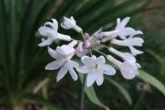 tulbaghia violacea white