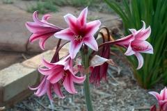 Crinum bulbispermum deep pink form