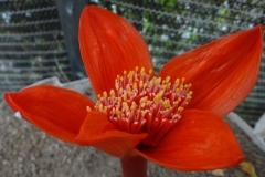 Haemanthus pubescens subsp leipoldtii
