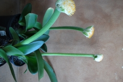 Haemanthus abliflos giant form