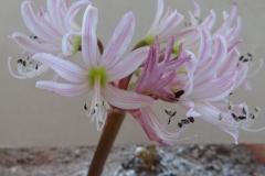 Brunsvigia gariepensis striped petal form