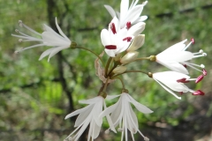Strumaria hardyana