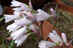 Strumaria prolifera