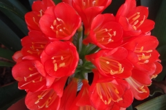 Clivia miniata red flowering Belgian Hybrids