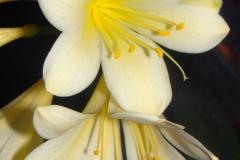 Clivia miniata var citrina