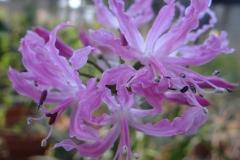 Nerine undulata
