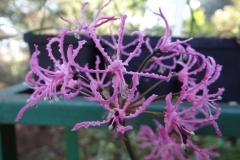 Nerine undulata thin petalled form