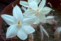 Gethyllis barkerae subsp paucifolius