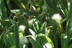 Haemanthus pauculifolius