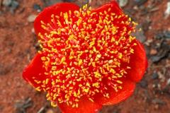 Haemanthus sanguineus