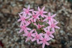 Hessea breviflora pink