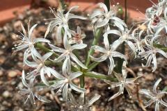 Namaquanula bruynsii