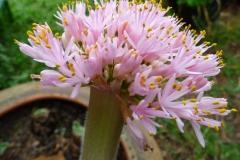 Haemanthus humilis subsp humilis Gaikaford Giant