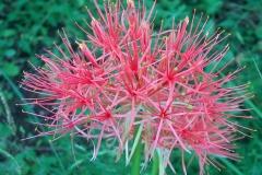Scadoxus multiflorus subsp multiflorus