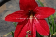 Sprekelia formosissima x Amaryllis 'Cancun'