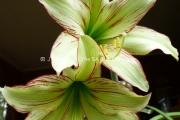 Amaryllis Rising Star