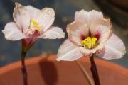 Habranthus tubispathus var roseus