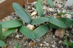 Brunsvigia gariepensis