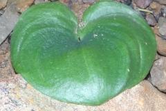 Eriospermum zeyheri