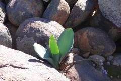 Haemanthus coccineus Calvinia