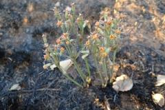 Tulbaghia pretoriensis Hartbeespoortdam