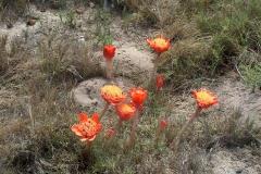 Haemanthus coccineus Cape Agulhas