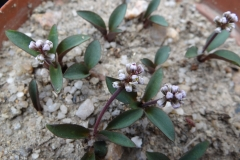 Drimiopsis sp dwarf