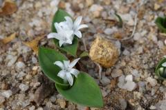 Lachenalia (polyxena) ensifolia
