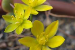 Ornithogalum multifolium