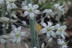 Urginea altissima