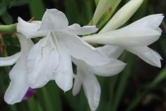 Watsonia borbonica subsp ardenei
