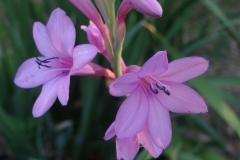 Watsonia meriana Cerise