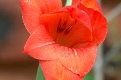 Gladiolus woodii Red Dazzle