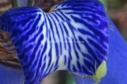Neomarica caerulea
