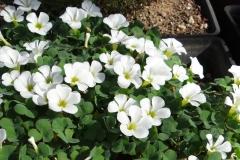 Oxalis purpurea white